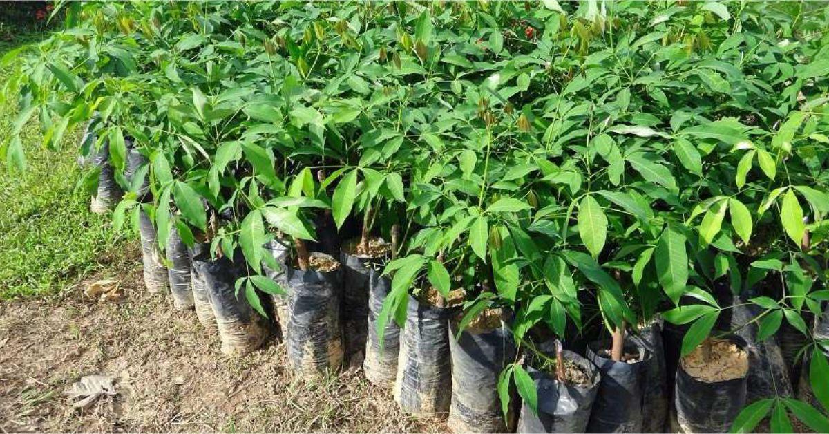En antioquia ya se han sembrado 15 mil rboles nuevos for Arboles de hoja perenne para clima frio