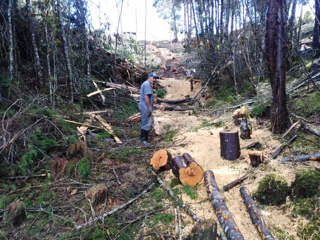 Cornare intervino aprovechamiento forestal de ciprés en Guarne