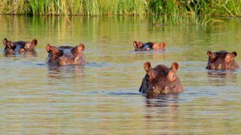 Hipopótamos en el Magdalena Medio.